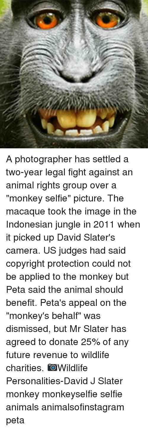 "overeating: A photographer has settled a two-year legal fight against an animal rights group over a ""monkey selfie"" picture. The macaque took the image in the Indonesian jungle in 2011 when it picked up David Slater's camera. US judges had said copyright protection could not be applied to the monkey but Peta said the animal should benefit. Peta's appeal on the ""monkey's behalf"" was dismissed, but Mr Slater has agreed to donate 25% of any future revenue to wildlife charities. 📷Wildlife Personalities-David J Slater monkey monkeyselfie selfie animals animalsofinstagram peta"