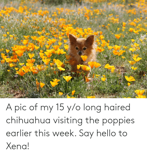 Poppies: A pic of my 15 y/o long haired chihuahua visiting the poppies earlier this week. Say hello to Xena!