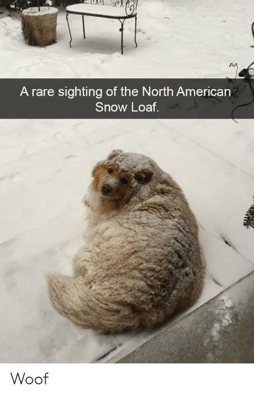 American, Snow, and Rare: A rare sighting of the North American  Snow Loaf Woof