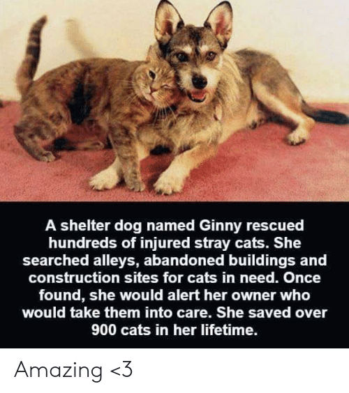 Cats, Memes, and Lifetime: A shelter dog named Ginny rescued  hundreds of injured stray cats. She  searched alleys, abandoned buildings and  construction sites for cats in need. Once  found, she would alert her owner who  would take them into care. She saved over  900 cats in her lifetime. Amazing <3