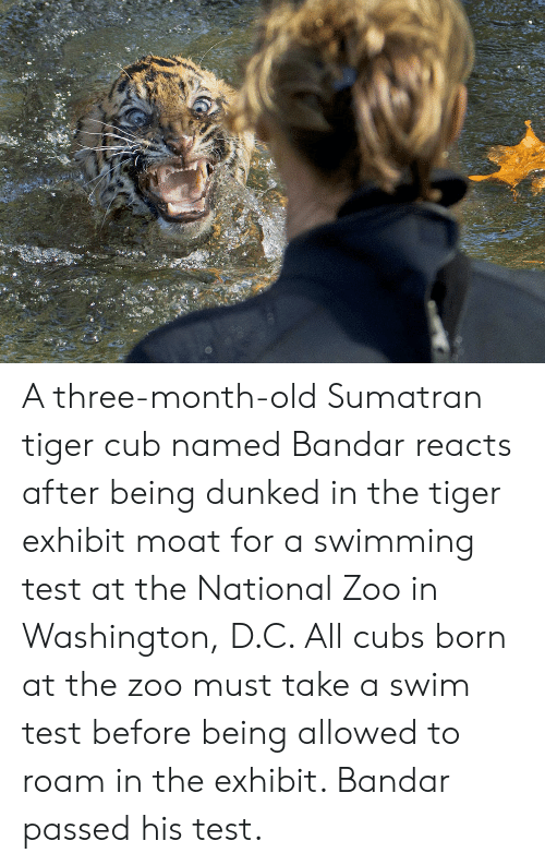 Cubs, Test, and Tiger: A three-month-old Sumatran tiger cub named Bandar reacts after being dunked in the tiger exhibit moat for a swimming test at the National Zoo in Washington, D.C. All cubs born at the zoo must take a swim test before being allowed to roam in the exhibit. Bandar passed his test.