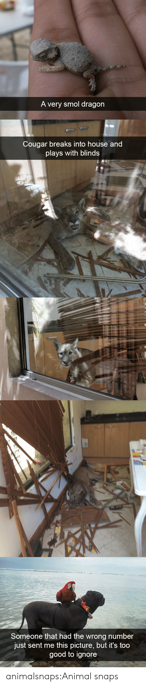 Target, Tumblr, and Animal: A very smol dragon   Cougar breaks into house and  plays with blinds   Someone that had the wrong number  just sent me this picture, but it's too  good to ignore animalsnaps:Animal snaps