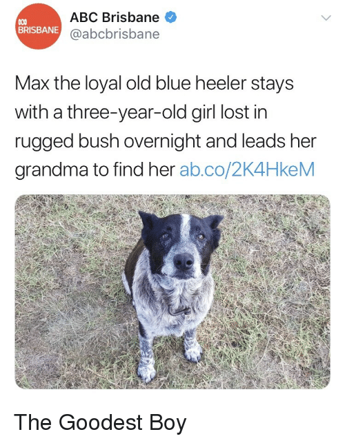 Abc, Grandma, and Lost: ABC Brisbane  @abcbrisbane  BRISBANE  Max the loyal old blue heeler stays  with a three-year-old girl lost in  rugged bush overnight and leads her  grandma to find her ab.co/2K4HkeM <p>The Goodest Boy</p>