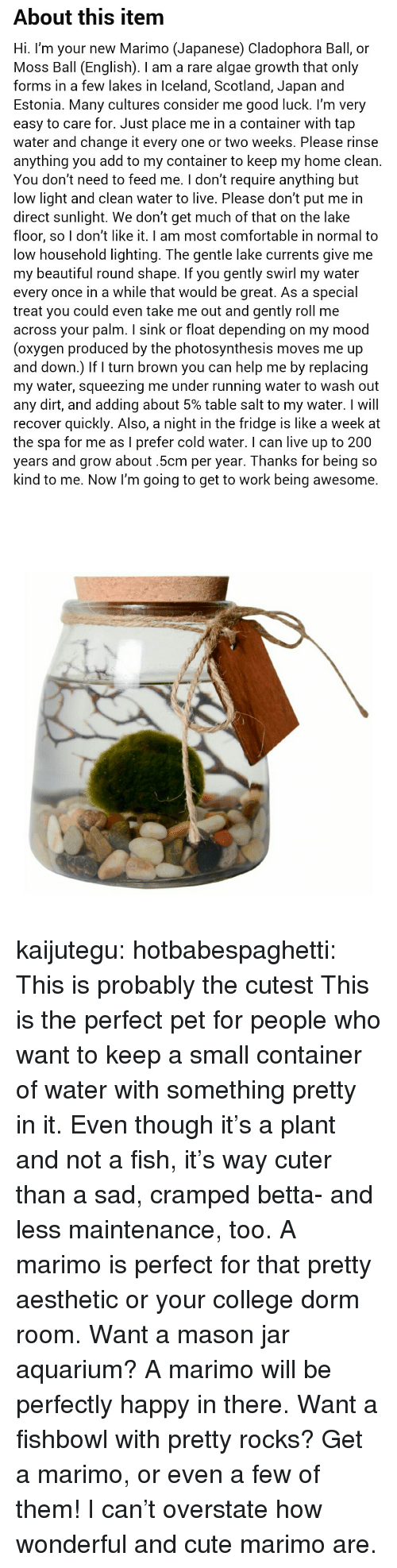 Bailey Jay, Beautiful, and College: About this item  Hi. I'm your new Marimo (Japanese) Cladophora Ball, or  Moss Ball (English). I am a rare algae growth that only  forms in a few lakes in Iceland, Scotland, Japan and  Estonia. Many cultures consider me good luck. l'm very  easy to care for. Just place me in a container with tap  water and change it every one or two weeks. Please rinse  anything you add to my container to keep my home clean.  You don't need to feed me. I don't require anything but  low light and clean water to live. Please don't put me in  direct sunlight. We don't get much of that on the lake  floor, so I don't like it. I am most comfortable in normal to  low household lighting. The gentle lake currents give me  my beautiful round shape. If you gently swirl my water  every once in a while that would be great. As a special  treat you could even take me out and gently roll me  across your palm. I sink or float depending on my mood  (oxygen produced by the photosynthesis moves me up  and down.) If turn brown you can help me by replacing  my water, squeezing me under running water to wash out  any dirt, and adding about 5% table salt to my water. I will  recover quickly. Also, a night in the fridge is like a week at  the spa for me as I prefer cold water. I can live up to 200  years and grow about.5cm per year. Thanks for being so  kind to me. Now I'm going to get to work being awesome. kaijutegu: hotbabespaghetti: This is probably the cutest  This is the perfect pet for people who want to keep a small container of water with something pretty in it. Even though it's a plant and not a fish, it's way cuter than a sad, cramped betta- and less maintenance, too. A marimo is perfect for that pretty aesthetic or your college dorm room. Want a mason jar aquarium? A marimo will be perfectly happy in there. Want a fishbowl with pretty rocks? Get a marimo, or even a few of them! I can't overstate how wonderful and cute marimo are.