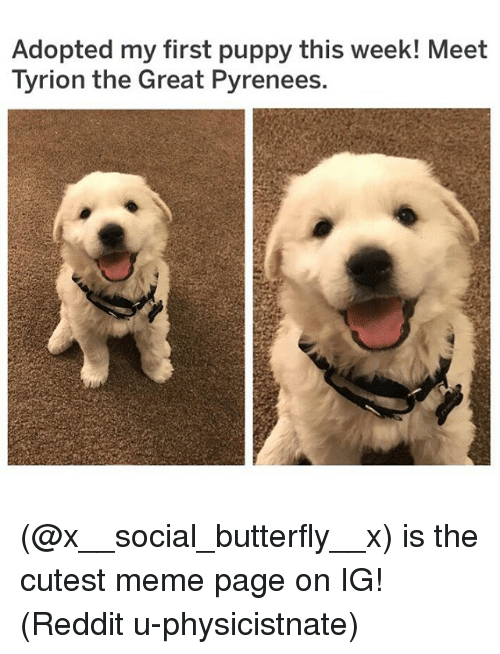 Meme, Memes, and Reddit: Adopted my first puppy this week! Meet  Tyrion the Great Pyrenees. (@x__social_butterfly__x) is the cutest meme page on IG! (Reddit u-physicistnate)