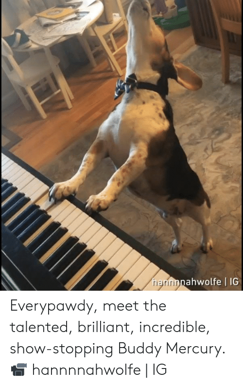 stopping: ahwolfe | IG  rri Everypawdy, meet the talented, brilliant, incredible, show-stopping Buddy Mercury.  📹 hannnnahwolfe | IG