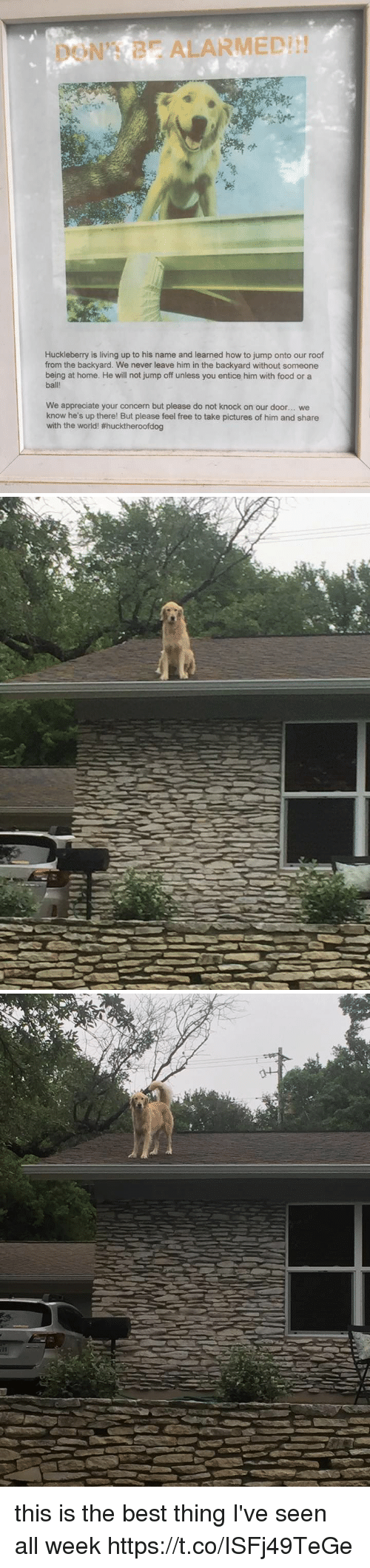 jumps off: ALARMED!  Huckleberry is living up to his name and learned how to jump onto our roof  from the backyard. We never leave him in the backyard without someone  being at home. He will not jump off unless you entice him with food or a  ball!  We appreciate your concern but please do not knock on our door... we  know he's up there! But please feel free to take pictures of him and share  with the world! this is the best thing I've seen all week https://t.co/ISFj49TeGe