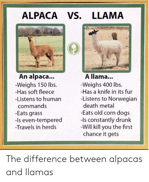 Dogs, Drunk, and Death: ALPACA VS. LLAMA  An alpaca...  A llama...  -Weighs 150 lbs  -Has soft fleece  -Weighs 400 lbs.  -Has a knife in its fur  -Listens to Norwegian  death metal  -Eats old corn dogs  -ls constantly drunk  -Will kill you the first  chance it gets  -Listens to human  commands  -Eats grass  -Is even-tempered  Travels in herds The difference between alpacas and llamas