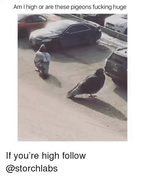 Fucking, Trendy, and Huge: Am I high or are these pigeons fucking huge If you're high follow @storchlabs
