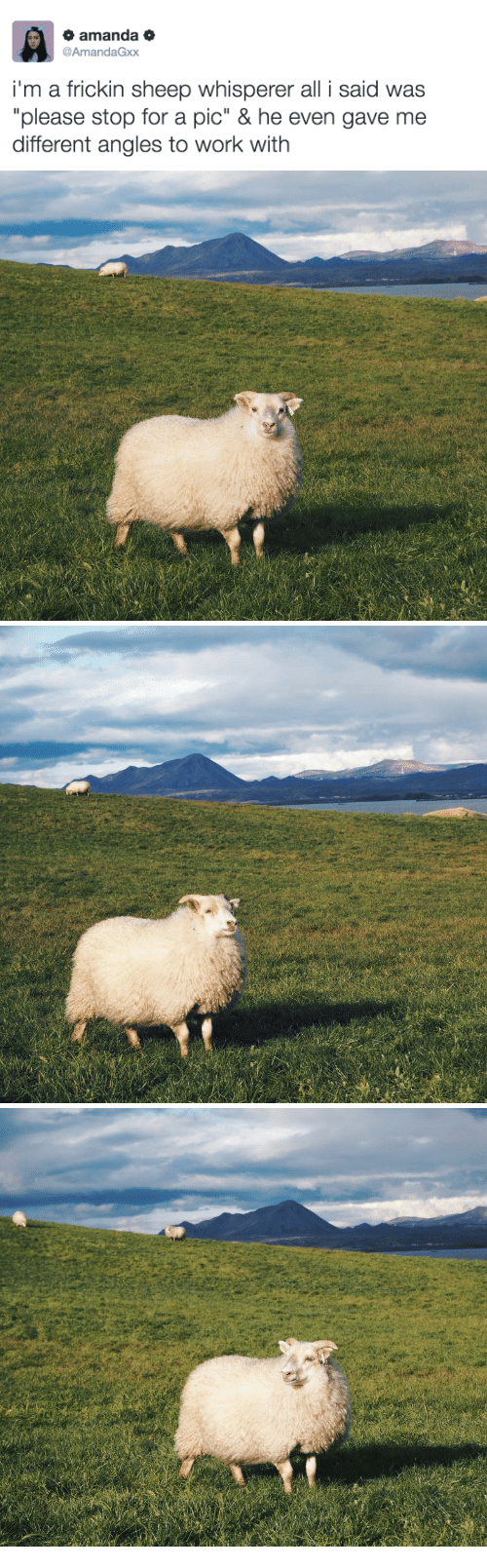 """Work, Sheep, and All: amanda o  AmandaGxx  i'm a frickin sheep whisperer all i said was  """"please stop for a pic"""" & he even gave me  different angles to work with"""
