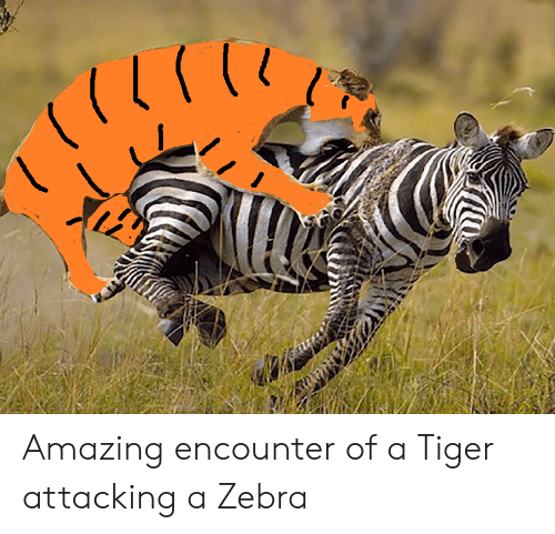 Tiger, Amazing, and Zebra: Amazing encounter of a Tiger attacking a Zebra