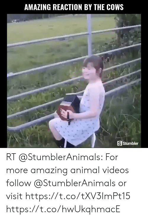 Animal Videos: AMAZING REACTION BY THE COWS  S Stumbler RT @StumblerAnimals: For more amazing animal videos follow @StumblerAnimals or visit https://t.co/tXV3ImPt15 https://t.co/hwUkqhmacE