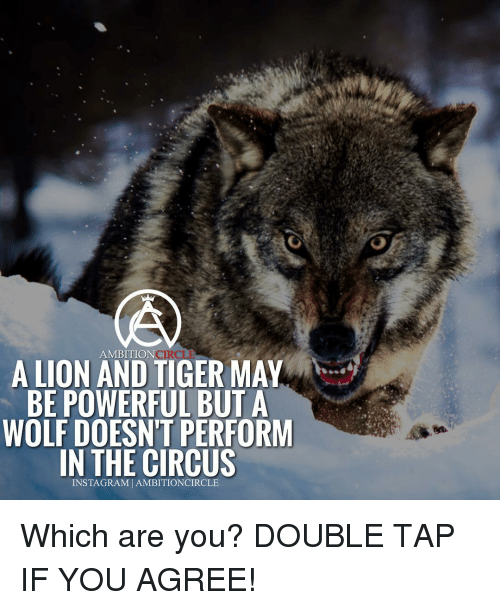 Memes, Lion, and Lions: AMBITION  A LION AND TIGER MAY  BE POWERFUL BUT A  WOLF DOESNT PERFORM  IN THE CIRCUS  INSTAG RAM AMBITIONCIRCLE Which are you? DOUBLE TAP IF YOU AGREE!