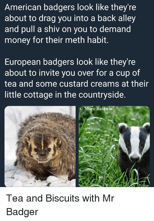 badger: American badgers look like they're  about to drag you into a back alley  and pull a shiv on you to demand  money for their meth habit.  European badgers look like they're  about to invite you over for a cup of  tea and some custard creams at their  little cottage in the countryside.  C Marc Baldwin Tea and Biscuits with Mr Badger