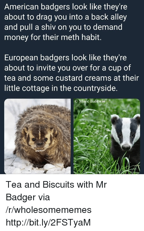 badger: American badgers look like they're  about to drag you into a back alley  and pull a shiv on you to demand  money for their meth habit.  European badgers look like they're  about to invite you over for a cup of  tea and some custard creams at their  little cottage in the countryside.  C Marc Baldwin Tea and Biscuits with Mr Badger via /r/wholesomememes http://bit.ly/2FSTyaM