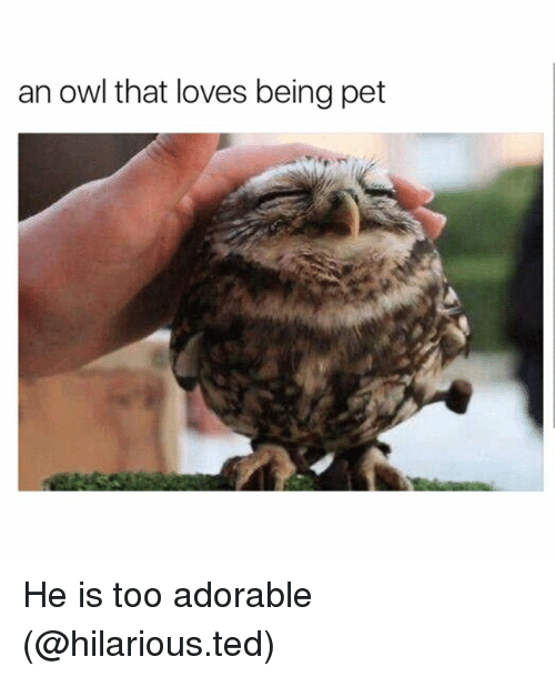 Owling: an owl that loves being pet He is too adorable (@hilarious.ted)