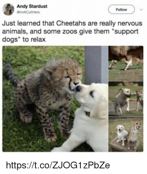 """zoos: Andy Stardust  Follow  Just learned that Cheetahs are really nervous  animals, and some zoos give them """"support  dogs"""" to relax https://t.co/ZJOG1zPbZe"""