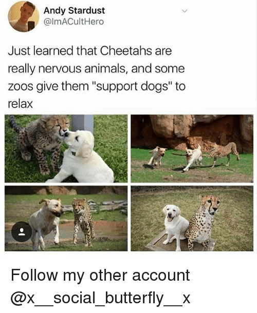 """Animals, Dogs, and Memes: Andy Stardust  @lmACultHero  Just learned that Cheetahs are  really nervous animals, and some  zoos give them """"support dogs' to  relax Follow my other account @x__social_butterfly__x"""