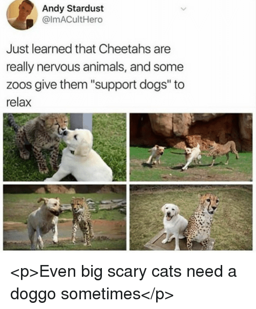 """Animals, Cats, and Dogs: Andy Stardust  @lmACultHero  Just learned that Cheetahs are  really nervous animals, and some  zoos give them """"support dogs"""" to  relax <p>Even big scary cats need a doggo sometimes</p>"""