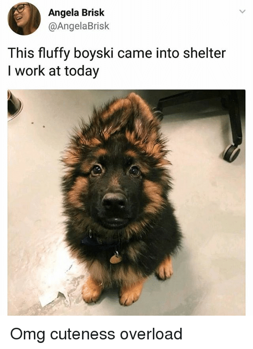 Memes, Omg, and Work: Angela Brisk  @AngelaBrisk  This fluffy boyski came into shelter  I work at today Omg cuteness overload