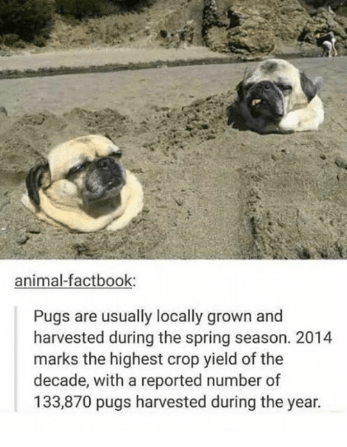 Memes, Animal, and Pugs: animal-factbook:  Pugs are usually locally grown and  harvested during the spring season. 2014  marks the highest crop yield of the  decade, with a reported number of  133,870 pugs harvested during the year.