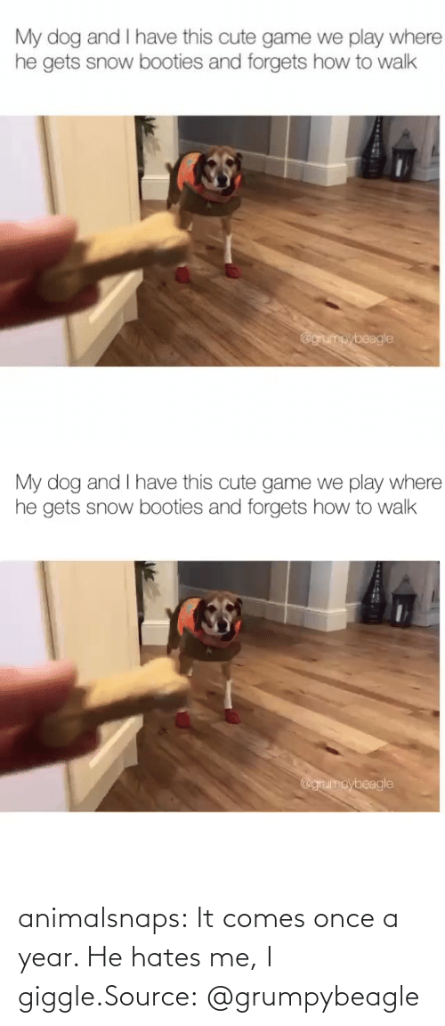 Comes: animalsnaps:  It comes once a year. He hates me, I giggle.Source: @grumpybeagle