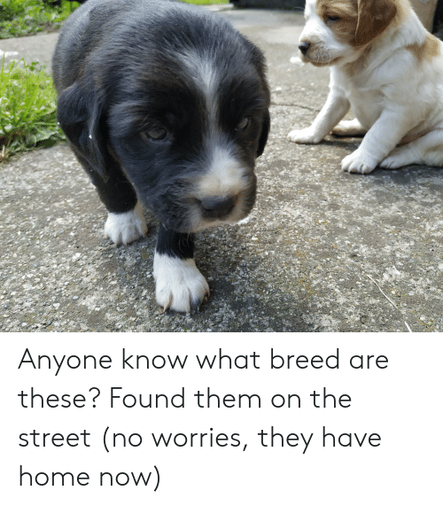 Home, Anyone Know, and Them: Anyone know what breed are these? Found them on the street (no worries, they have home now)