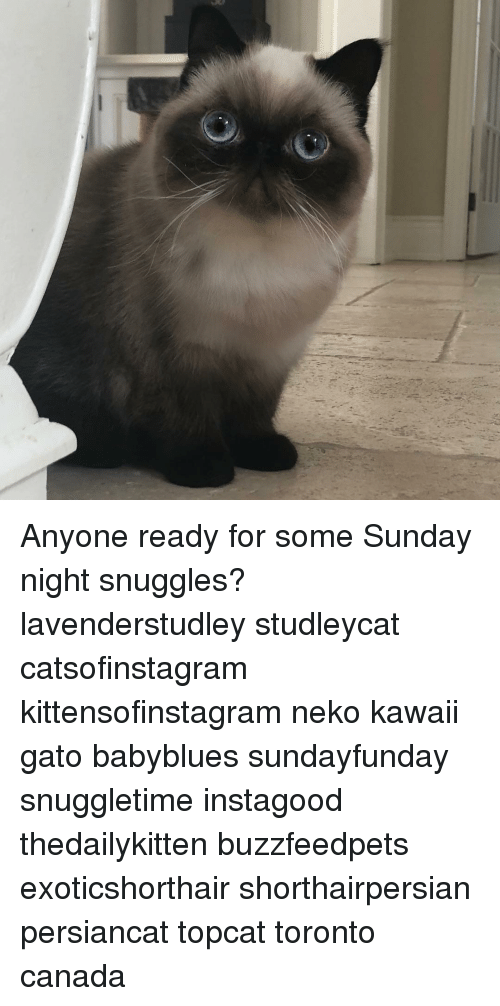 snuggles: Anyone ready for some Sunday night snuggles? lavenderstudley studleycat catsofinstagram kittensofinstagram neko kawaii gato babyblues sundayfunday snuggletime instagood thedailykitten buzzfeedpets exoticshorthair shorthairpersian persiancat topcat toronto canada