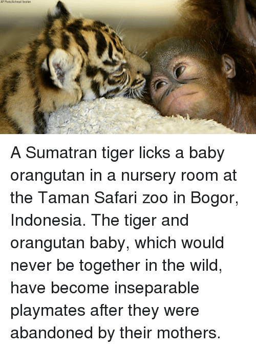 Safari: AP Photo/Achmad Ibrahim A Sumatran tiger licks a baby orangutan in a nursery room at the Taman Safari zoo in Bogor, Indonesia. The tiger and orangutan baby, which would never be together in the wild, have become inseparable playmates after they were abandoned by their mothers.