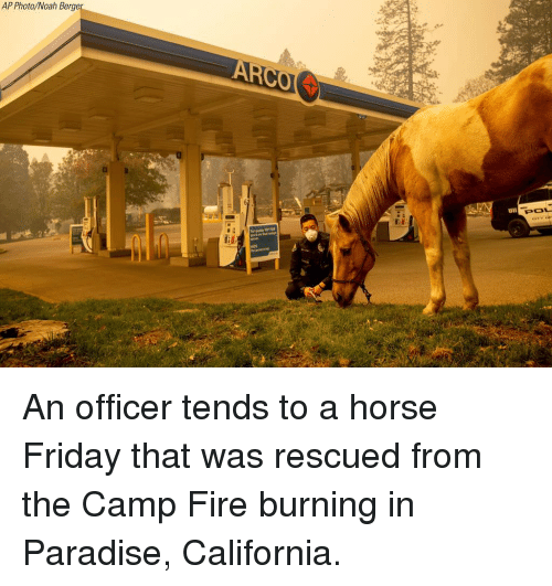 Fire, Friday, and Memes: AP Photo/Noah Berge  er  POL An officer tends to a horse Friday that was rescued from the Camp Fire burning in Paradise, California.