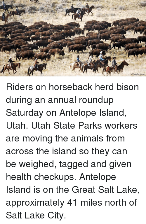 Animals, Memes, and Tagged: AP Photo/Rick Bowmer Riders on horseback herd bison during an annual roundup Saturday on Antelope Island, Utah. Utah State Parks workers are moving the animals from across the island so they can be weighed, tagged and given health checkups. Antelope Island is on the Great Salt Lake, approximately 41 miles north of Salt Lake City.