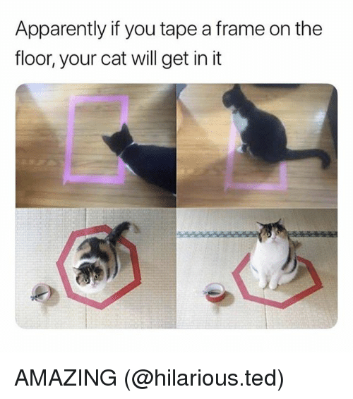 Apparently, Memes, and Ted: Apparently if you tape a frame on the  floor, your cat will get in it AMAZING (@hilarious.ted)