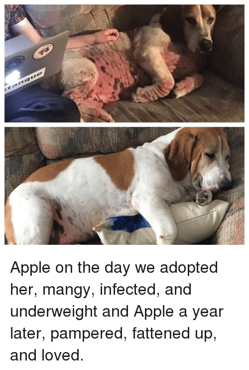 Apple, Got, and Her: Apple on the day we adopted her, mangy, infected, and underweight and Apple a year later, pampered, fattened up, and loved.