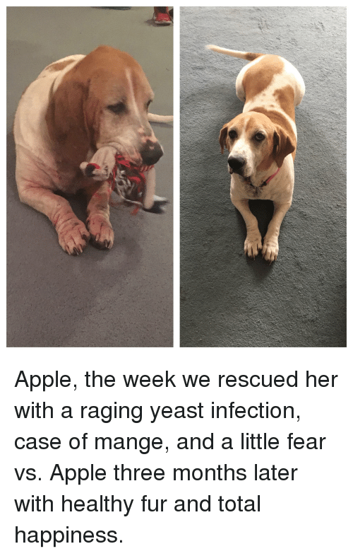 Apple, Yeast Infection, and Fear: Apple, the week we rescued her with a raging yeast infection, case of mange, and a little fear vs. Apple three months later with healthy fur and total happiness.