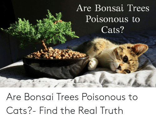 Are Bonsai Trees Poisonous To Cats Are Bonsai Trees Poisonous To Cats Find The Real Truth Cats Meme On Awwmemes Com