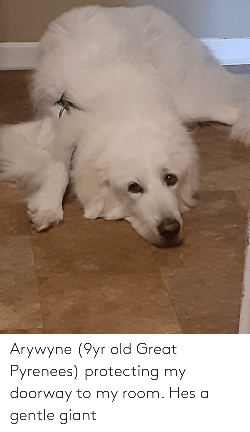 protecting: Arywyne (9yr old Great Pyrenees) protecting my doorway to my room. Hes a gentle giant