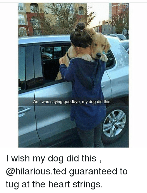 Memes, Ted, and Heart: As I was saying goodbye, my dog did this... I wish my dog did this , @hilarious.ted guaranteed to tug at the heart strings.