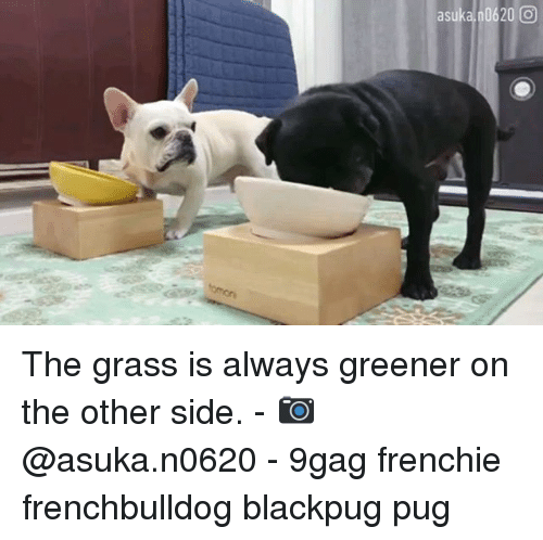 Grass Is Always Greener: asuka 0620 0 The grass is always greener on the other side. - 📷 @asuka.n0620 - 9gag frenchie frenchbulldog blackpug pug