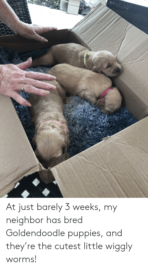 Puppies, Worms, and They: At just barely 3 weeks, my neighbor has bred Goldendoodle puppies, and they're the cutest little wiggly worms!