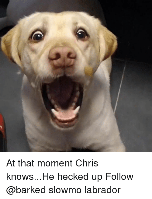labrador: At that moment Chris knows...He hecked up Follow @barked slowmo labrador