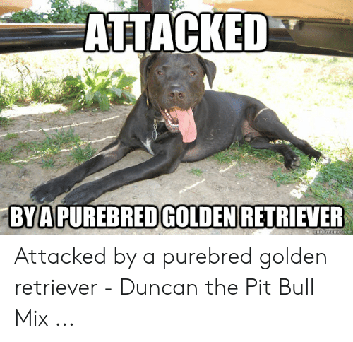 Golden Retriever, Pit Bull, and Pit: ATTACKED  BYAPUREBREDGOLDEN RETRIEVER Attacked by a purebred golden retriever - Duncan the Pit Bull Mix ...