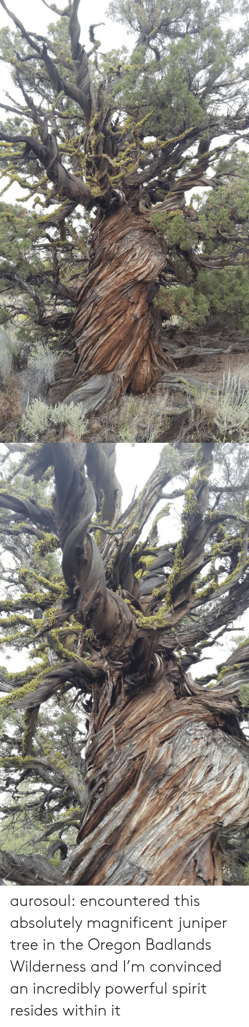 Oregon: aurosoul: encountered this absolutely magnificent juniper tree in the Oregon Badlands Wilderness and I'm convinced an incredibly powerful spirit resides within it
