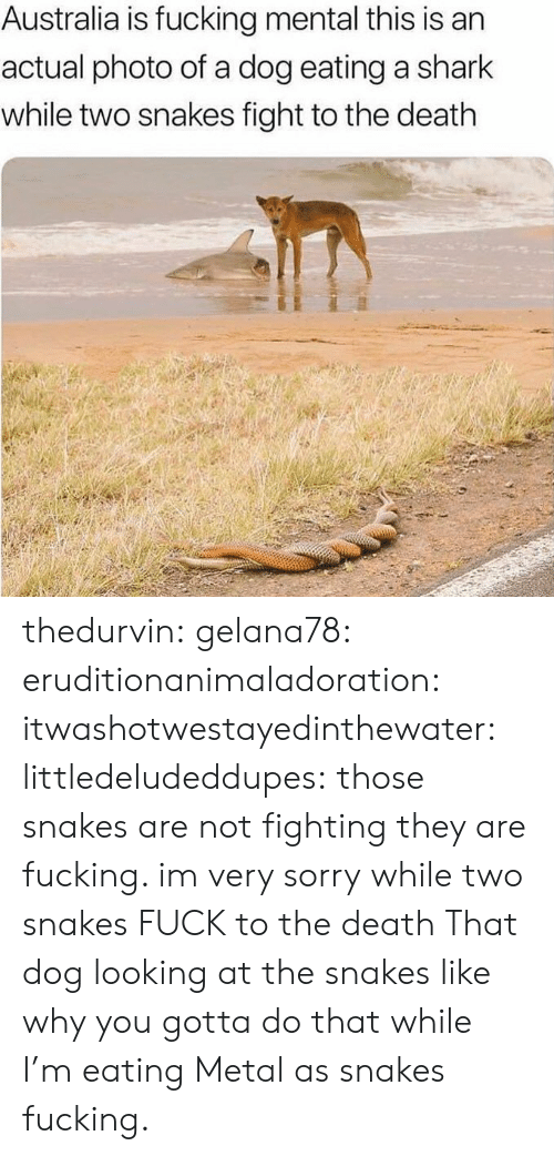 Snakes: Australia is fucking mental this is an  actual photo of a dog eating a shark  while two snakes fight to the death thedurvin: gelana78:  eruditionanimaladoration:   itwashotwestayedinthewater:  littledeludeddupes: those snakes are not fighting they are fucking. im very sorry while two snakes FUCK to the death   That dog looking at the snakes like why you gotta do that while I'm eating   Metal as snakes fucking.
