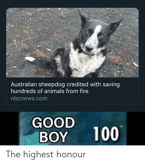 boy: Australian sheepdog credited with saving  hundreds of animals from fire  nbcnews.com  GOOD  BOY  100 The highest honour