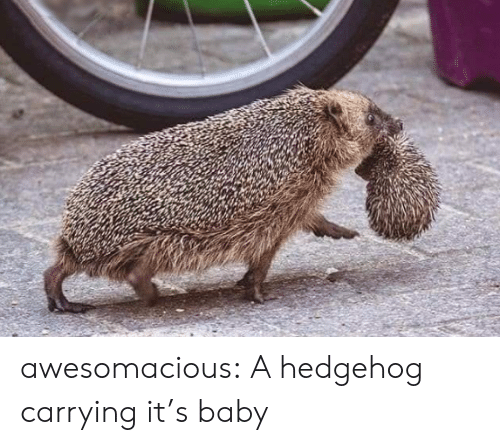 Hedgehog: awesomacious:  A hedgehog carrying it's baby