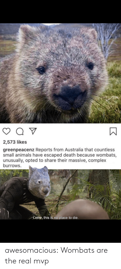 The Real: awesomacious:  Wombats are the real mvp