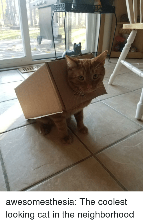 Tumblr, Blog, and Http: awesomesthesia:  The coolest looking cat in the neighborhood
