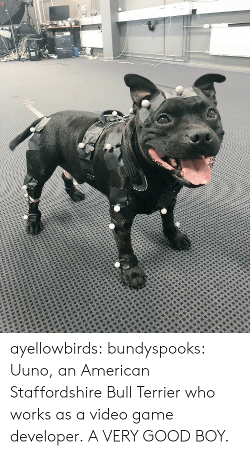 Tumblr, American, and Blog: ayellowbirds: bundyspooks: Uuno, an American Staffordshire Bull Terrier who works as a video game developer. A VERY GOOD BOY.