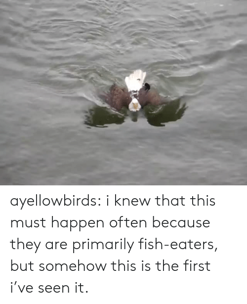 I Knew That: ayellowbirds: i knew that this must happen often because they are primarily fish-eaters, but somehow this is the first i've seen it.