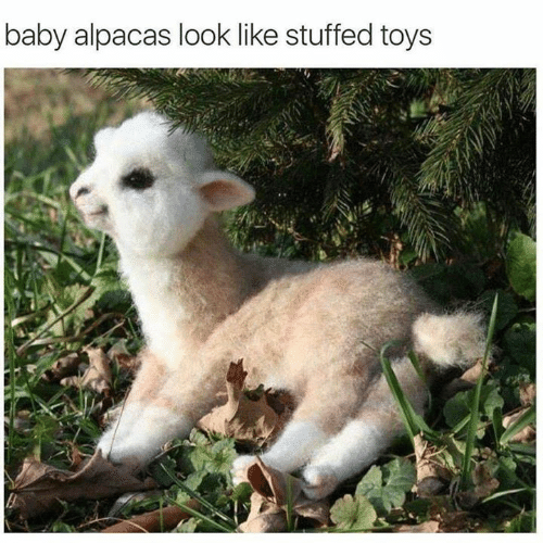 Funny, Toys, and Baby: baby alpacas look like stuffed toys